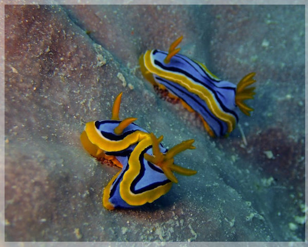Great Barrier Reef based Nudibranches in a 4 x 5 Print - Schmidt Fine Art Gallery