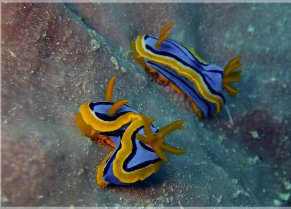 Great Barrier Reef based Nudibranches in a 5 x 7 Print - Schmidt Fine Art Gallery