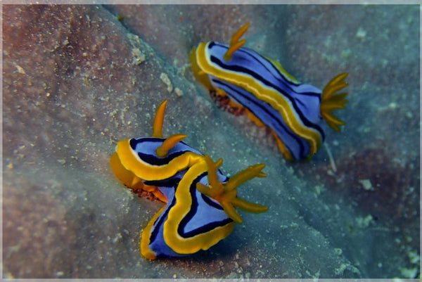 Great Barrier Reef based Nudibranches in a 6 x 9 unframed Print - Schmidt Fine Art Gallery