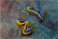Great Barrier Reef based Nudibranches in a 16 x 23.5 Acrylic Print - Schmidt Fine Art Gallery