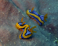 Great Barrier Reef based Nudibranchs in a 16 x 20 Canvas - Schmidt Fine Art Gallery