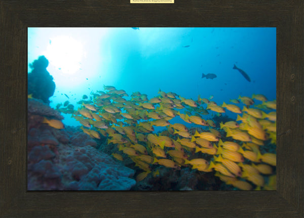 Great Barrier Reef Yellow School of Fish 10 x 15 Print in an Espresso Walnut Frame - Schmidt Fine Art Gallery