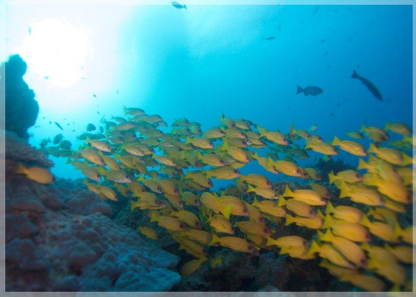 Great Barrier Reef Yellow School of Fish in a 4 x 6 Print - Schmidt Fine Art Gallery