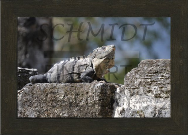 Iguana Basking on a Mayan Temple in a 10 x 15 Framed Print - Schmidt Fine Art Gallery