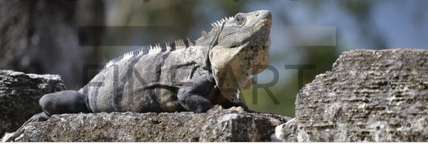 Iguana Basking on a Mayan Temple in a 10 x 30 Canvas - Schmidt Fine Art Gallery