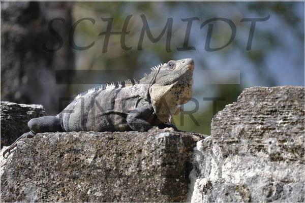 Iguana basking on a Mayan Temple 20 x 30 Poster - Schmidt Fine Art Gallery
