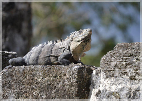 Iguana Basking on a Mayan Temple in a 4 x 5 Print - Schmidt Fine Art Gallery