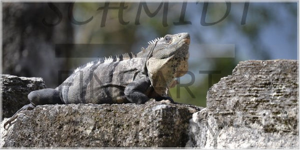 Iguana Basking on a Mayan Temple in a 40 x 80 Acrylic Print - Schmidt Fine Art Gallery