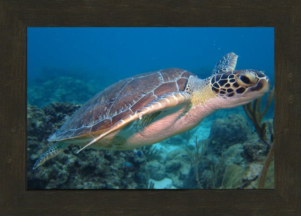 I'm Eyeing You Said the Sea Turtle in 10 x 15 Print in an Espresso Walnut Frame - Schmidt Fine Art Gallery