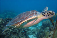 I'm Eyeing You Said the Sea Turtle in a 24 x 36 Poster - Schmidt Fine Art Gallery