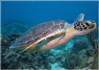 I'm eyeing you said the Sea Turtle in a 5 x 7  Print - Schmidt Fine Art Gallery