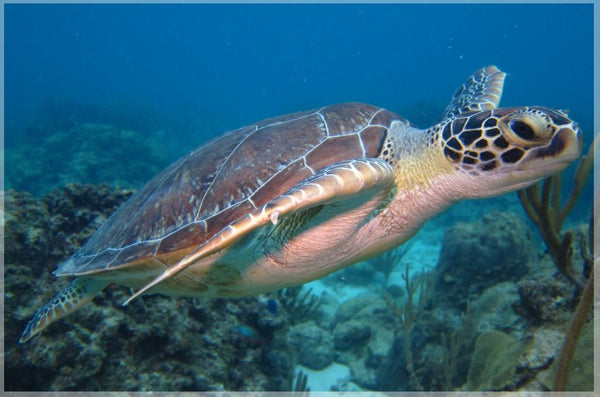 I'm Eyeing You Said the Sea Turtle in a 6 x 9 Print - Schmidt Fine Art Gallery