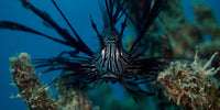 Lion Fish in the Coral Sea in a 10 x 20 Canvas - Schmidt Fine Art Gallery