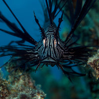 Lion Fish in the Coral Sea in a 16 x 16 Canvas - Schmidt Fine Art Gallery
