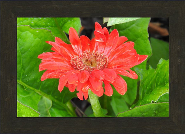 Lone Flower By Lowe in a 10 x 15 print Framed in an Espresso Walnut Frame - Schmidt Fine Art Gallery