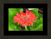 Lone Flower in a 10 x 15 Print in an Espresso Walnut Frame with mat - Schmidt Fine Art Gallery