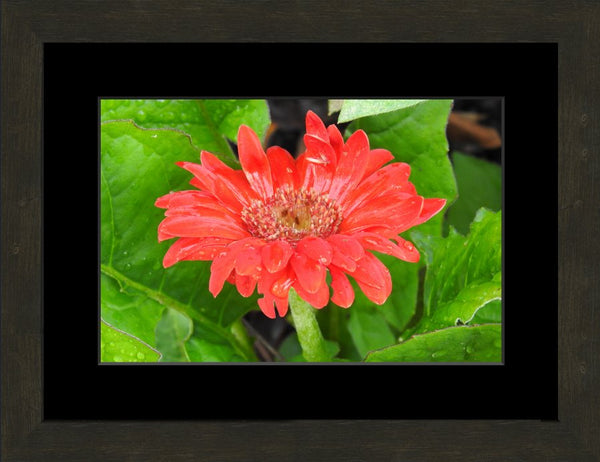 Lone Flower By Lowe in a 10 x 15 print Framed with mat in an Espresso Walnut Frame - Schmidt Fine Art Gallery