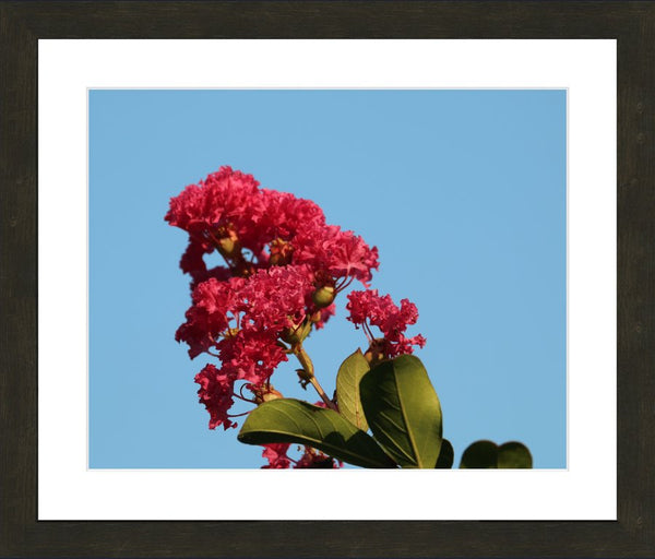 Midwest Red Spring Flower By Murchison in a 16 x 20 Print Framed with mat in an Espresso Walnut Frame - Schmidt Fine Art Gallery