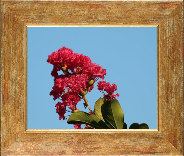 Midwest Red Spring Flower in a 8 x 10 Print in a Gold Accent Frame - Schmidt Fine Art Gallery
