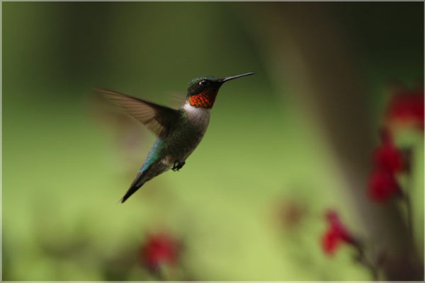 Male Humming Bird in Flight Spring in Arkansas in a 12 x 18 Metal Print - Schmidt Fine Art Gallery