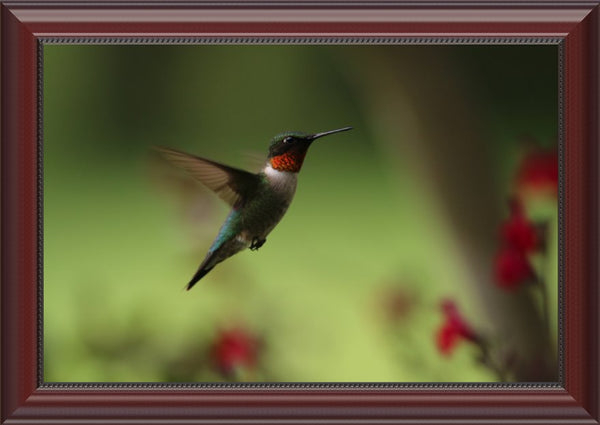 Male Humming Bird in Flight Spring in Arkansas in a 12 x 18 Framed Print - Schmidt Fine Art Gallery