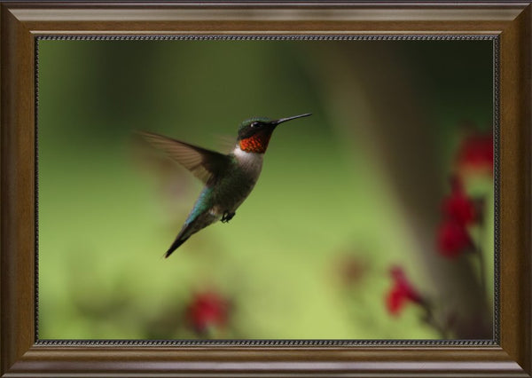 Murchison Male Humming Bird in Flight Spring in Arkansas in  12 x 18 Print Framed - Schmidt Fine Art Gallery