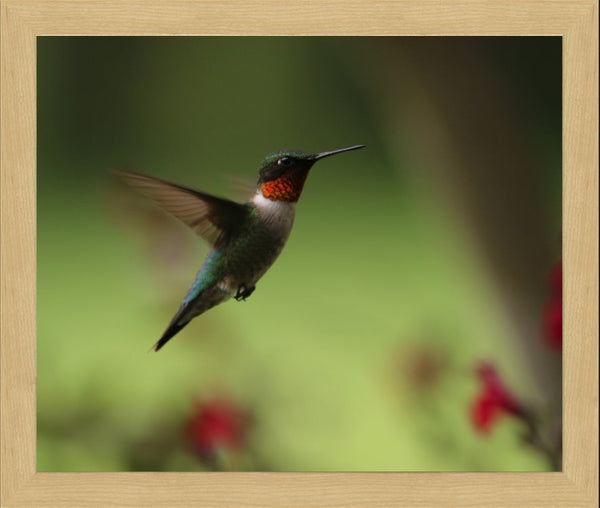 Murchison Male Humming Bird in Flight Spring in Arkansas in 20 x 24 Print Framed - Schmidt Fine Art Gallery