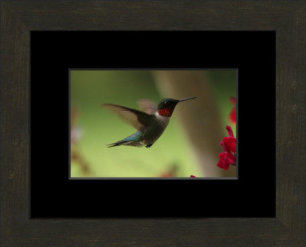 Male Humming Bird in Flight Spring in Arkansas in a 6 x 9 Print Framed with black mat - Schmidt Fine Art Gallery