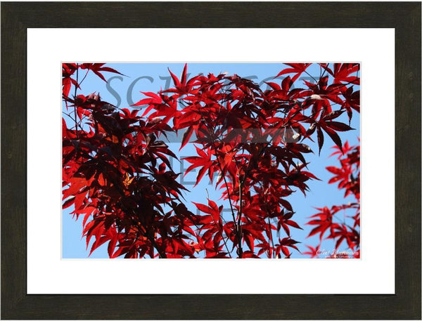 Murchison Red Leaves in a 12 x 18 Print Framed with white Mat - Schmidt Fine Art Gallery