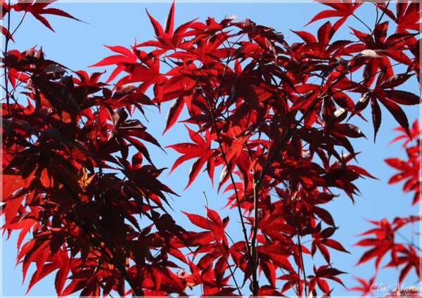 Murchison Red Leaves in a 5 x 7 Print - Schmidt Fine Art Gallery