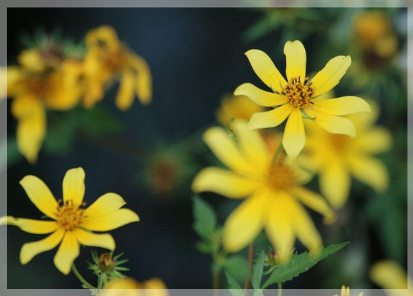 Murchison Yellow Spring Flowers in a 4 x 6 Print - Schmidt Fine Art Gallery
