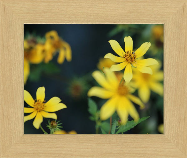 Yellow Spring Flowers in a 8 x 10 Print in a Blonde Maple Frame - Schmidt Fine Art Gallery