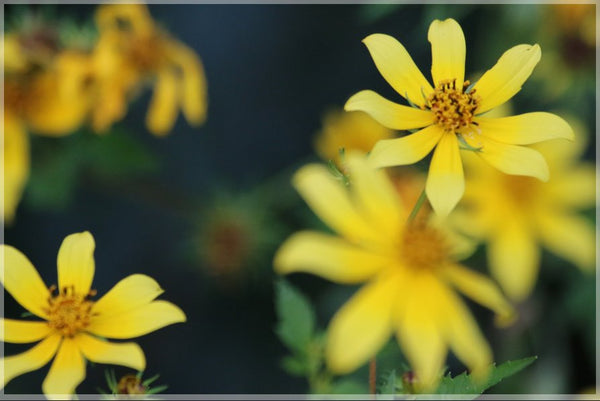 Murchison Yellow Spring Flowers in a 8 x 12 Wrap - Schmidt Fine Art Gallery