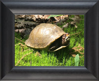 Not a Spring Chicken? Spring Turtle in a 9 x 12 Print in a Black Curved Frame - Schmidt Fine Art Gallery