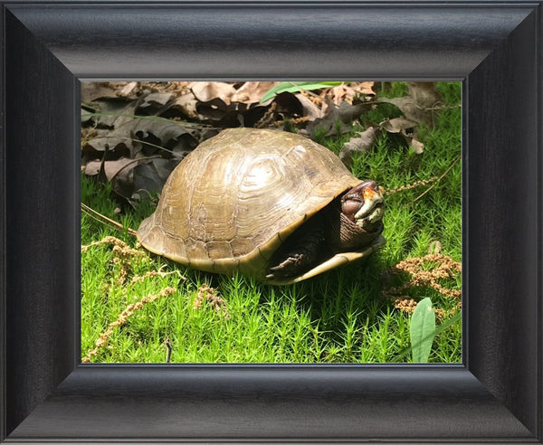 Not a Spring Chicken?  Spring Turtle by Lowe in a 9 x 12 print Framed - Schmidt Fine Art Gallery