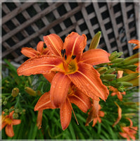 Orange Lilly in a 10 x 10 Unframed Print - Schmidt Fine Art Gallery
