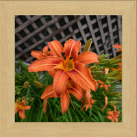 Orange Lilly in a 12 x 12 Print in a Blonde Maple Frame - Schmidt Fine Art Gallery