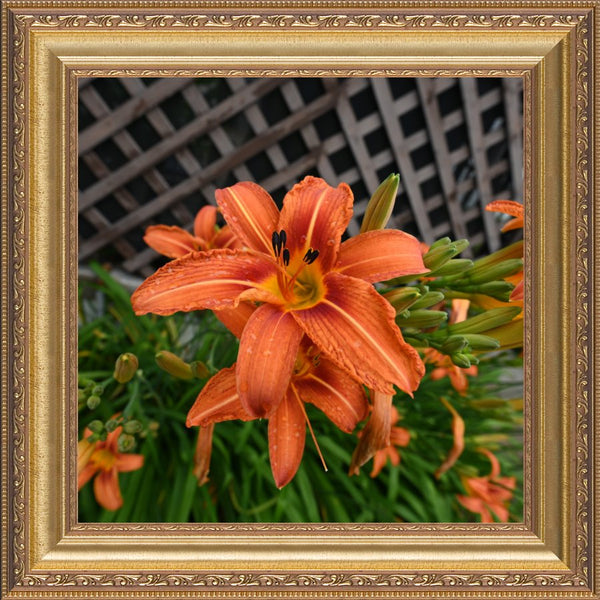 Orange  Lilly by Schmidt  in a  12 x 12 Print Framed  in a Gold Ornate Frame - Schmidt Fine Art Gallery