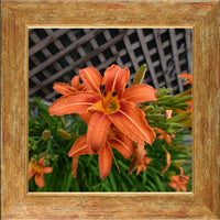 Orange Lilly in a 12 x 12 Print in a Gold Accent Frame - Schmidt Fine Art Gallery