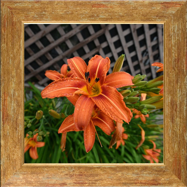 Orange  Lilly by Schmidt  in a  12 x 12 Print Framed in a Gold Accent Frame - Schmidt Fine Art Gallery