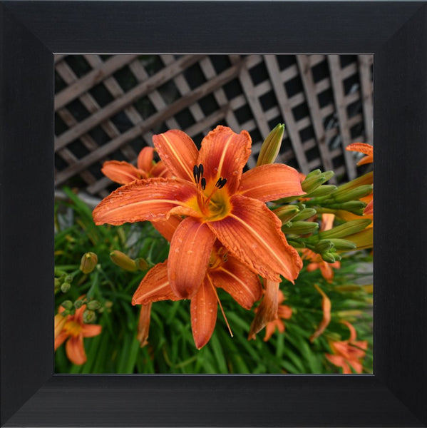 Orange Lilly in a 12 x 12 Print in a Black Flat Frame - Schmidt Fine Art Gallery
