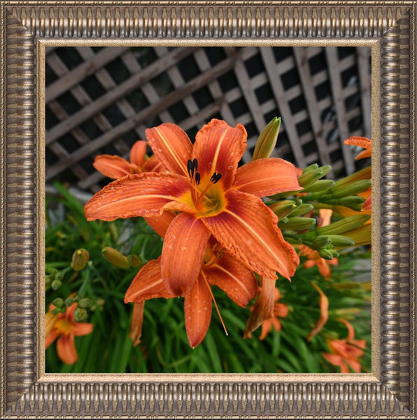 Orange  Lilly by Schmidt  in a  12 x 12 Print Framed in a Pewter Ribbed Frame - Schmidt Fine Art Gallery