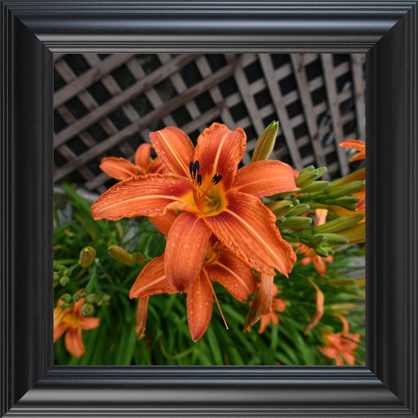Orange  Lilly by Schmidt  in a  12 x 12 Print Framed in a Black Rounded Frame - Schmidt Fine Art Gallery
