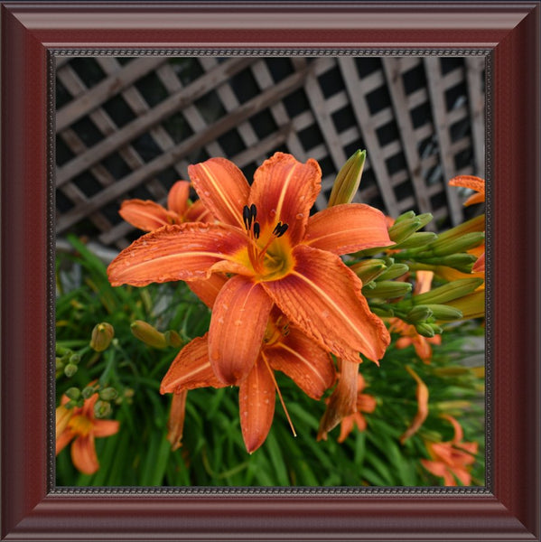 Orange  Lilly  in a  12 x 12 Print Framed in a Beaded Mahogany Frame - Schmidt Fine Art Gallery
