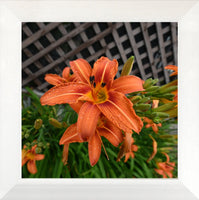 Orange  Lilly by Schmidt  in a  12 x 12 print in a White Flat Frame - Schmidt Fine Art Gallery