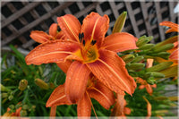 Orange  Lilly by Schmidt  in a 4 x 6 Unframed Print - Schmidt Fine Art Gallery