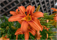 Orange Lilly in a 6 x 9 Unframed Print - Schmidt Fine Art Gallery