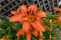 Orange Lilly in a 8 x 12 Unframed Print - Schmidt Fine Art Gallery