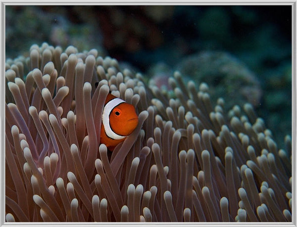 Pica boo Clown Fish  by Schmidt in a 10 x 13 Print Framed - Schmidt Fine Art Gallery