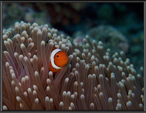 Pica Boo Clown Fish in a 10 x 13 Framed Print - Schmidt Fine Art Gallery
